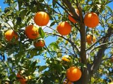 Centro Verde Caravaggio-Festa agrumi e ulivi