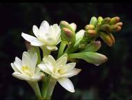 tuberose-flower