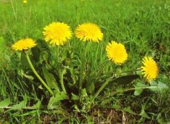 Tarassaco pianta e fiori