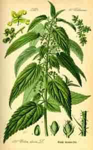 tavola pianta ortica