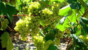 xvigneto-vino-bianco-pecorino