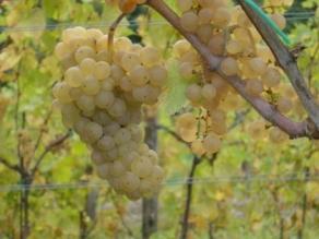 ribolla gialla uva