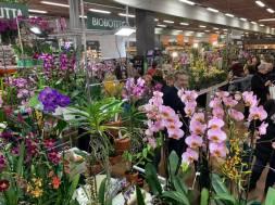 Orchiday Peraga (1)