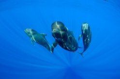 A long-finned pilot whale and her two calves n the Canary Island