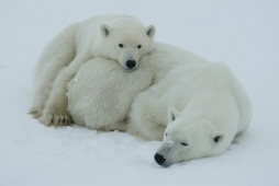 Two Polar bears in the snow, Canada