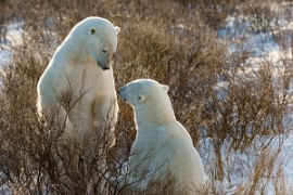 Two male polar bears sparring, Churchill, Canada